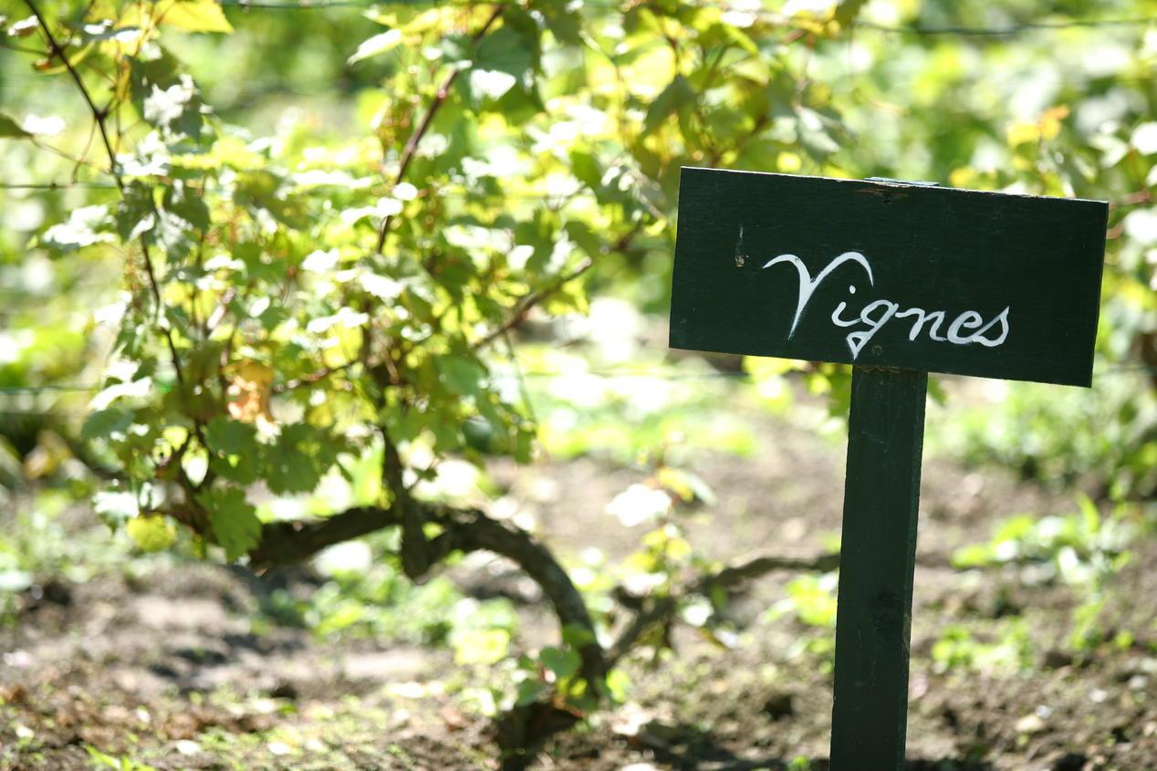 Vines in garden of Vaucelles Abbaye - Les Rues des